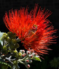 red bloom and buds (Leonard J Matthews) Tags: flower bloom red buds growth nature environment creation life australia mythoto