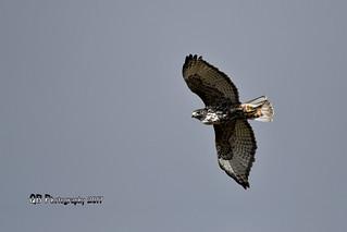 Red-tailed Hawk DSC_9409