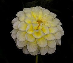 Yellow Puffball Dahlia (tresed47) Tags: 2017 201710oct 20171005longwoodmacro canon7d chestercounty content dahlia fall flowers folder longwoodgardens macro october pennsylvania peterscamera petersphotos places ringflash season takenby technical us