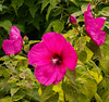 Mallow blossoms (billd_48) Tags: oh summer smp nature flowers mallow