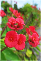 tiny red flowers :) (green_lover) Tags: flowers plants red macro tiny flora smileonsaturday tenerife canaryislands frame tinytreasuresinflora