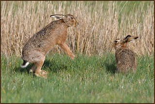 Brown Hare (image 3 of 3)