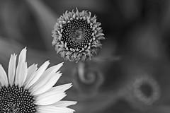 blackandwhite Flowers (bnbalance) Tags: nature white flowers art macro new blackandwhite bw garden outdoor plant bokeh