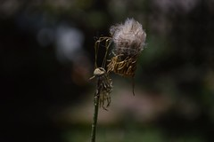 Still connected (Judit T) Tags: seeds nature natural plant outdoor garden wild abstract brasil brazil