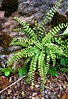 fern and ivy at Luss on loch lomand scotland (Pete Read) Tags: fern ivy luss loch lomand scotland