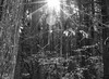 Black and White Forestscape (2) (Neil DeMaster) Tags: nature massachusettsnature capecodnature trees cedars forestscape forest blackandwhite keeppubliclandspublic conservenature massachusetts capecod keeppubliclandpublic conservation preservedland protectourenvironment