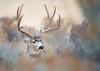 Big and Beautiful (Jami Bollschweiler Photography) Tags: big mule deer beautiful looks like painting utah wildlife photograph animal buck boy sage colors wonderful staring hiding rut november