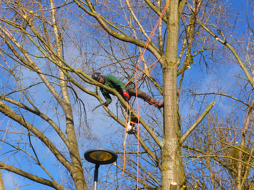 Tree Felling_University Road_Warwick University_Coventry_Nov17
