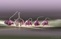 Fantasia (Lucie van Dongen) Tags: nikon105mm28 nikond610 softtones pink flower fleur astrantiamajor longexposure artistic artwork composition light macro fantasia