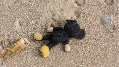 Marine life? (tmeallen) Tags: marinelife beach sand shoreline debris trash oceanpollution lobstertail seaurchinshell teddybear losttoy komodoisland nationalpark indonesia