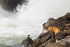 Contemplation (Amy Hudechek Photography) Tags: grand teton national park fox mammal wildlife americandipper water jacksonlakedam rocks dam nature autumn fall gtnp amyhudechek nikond500 nikon200500f56
