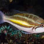 Three-striped Whiptail - Pentapodus trivittatus thumbnail
