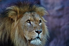 Dinner time (stellagrimsdale) Tags: lion zoo colochester face eyes main fantasticnature