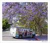 Purple rain (BegMeil44) Tags: losangeles usa california jacarandatree littlearmenia