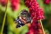 Red Admiral (Maria-H) Tags: greatermanchester england unitedkingdom gb redadmiral vanessaatalanta butterfly dunhammassey garden cheshire uk olympus omdem1markii panasonic 100400