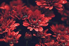 (zedspics) Tags: flower nature zedspics autumn fall 1710 explore explored drops
