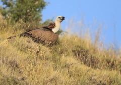 Vautour fauve (m-idre31 - 6 millions de vues merci) Tags: oiseau bird aves espagne hautaragon loarre vautourfauve