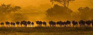 Sunset Wildebeest