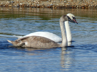 Mute swan & cygnet 1