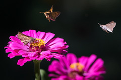 Numbers One and Two for Landing (sethjschubert) Tags: flower wildlife nature zinnia insect bloom butterfly blossom moore ok