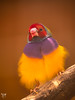 gouldian finch (AlistairKiwi) Tags: gouldian finch bird zoo wagga nsw australia olympus omd bokeh