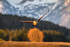 Canada goose (Branta canadensis) in flight at sunrise in front of Mt. Moran, Grand Teton National Park, Wyoming (diana_robinson) Tags: canadagoose brantacanadensis birdinflight sunrise mtmoran grandtetonnationalpark wyoming tetonsm autumn fall