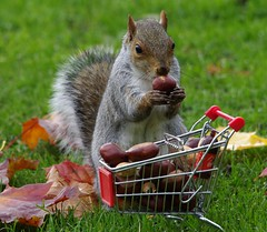 grey squirrel  with shopping trolley cart  in park autumnleafs on grass . (18) (Simon Dell Photography) Tags: sheffield botanical gardens city park 2017 simon dell photography pan statue wood spirit god woods grey squirrel cute awesome funny countryfile springwatch autumn fall leafs uk england october weatjher seasonal with shopping cart trolley micro toy model coke bottle coca cola knuts conkers photo pic