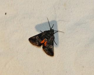 10169 Copanarta aurea, Moth