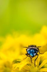 Mosca timida (Kuboimagen) Tags: coquimbo yellow luz insecto insect nikon sigma bokeh mosca planta petalos azul amarillo d5100 desenfoque flor flower fly garden jardin naturaleza chile macro macrofotografia