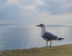 Oteando el horizonte (josmanmelilla) Tags: melilla mar animales españa cielo nubes pwmelilla pwdmelilla flickphotowalk pwdemelilla