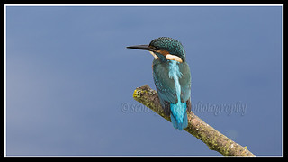 IMG_0020 Kingfisher