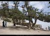 The famous Juniper Tree of Ziarat (umasha79) Tags: ziarat plums apples juniper balochistan quetta