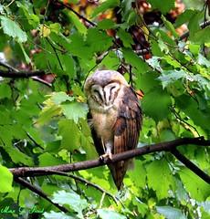 Schleiereule (Tyto alba) (Max G. Paul) Tags: vögel birds animals tiere eule owl wald wood forrest