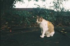 (YL.H) Tags: film 底片 canon 500n efiniti 貓 cat 淡水 streetcats straycats analogy taiwan