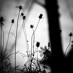 roadside/道端 (s_inagaki) Tags: roadside flower tokyo snap monochrome blackandwhite bnw bw jupiter850mmf2 道端 東京 スナップ 白黒 モノクロ 花 電柱