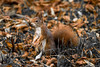 Squirrel (JirkaCaletka) Tags: autumn squirrel animal leaf leafs brown orange selective color colorful grass forest nikon d3300 nikonphotography photo photography photographer foto fotograf fotografie fotka veverka digital czech stromovka cesko česko cz jirka caletka jirkacaletka