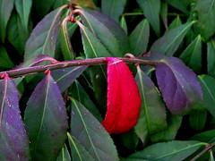 ... and so it began (+1) (peggyhr) Tags: peggyhr hedge autumn red green dsc09261a vancouver bc canada sonydschx80 carolinasfarmfriends