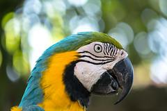 sphynx (alain01789) Tags: parrot perroquet animal couleur colors birdpark bali indonesie velvia