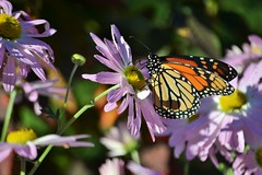 Last of the Season (KaDeWeGirl) Tags: newyorkcity bronx wavehill botanical garden monarch butterfly flowers