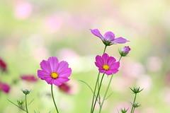 cosmos (* Yumi *) Tags: cosmos flower コスモス 昭和記念公園