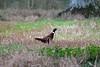 Pheasant(male) (georgehart64) Tags: pheasant ef100400mm f4556l is ii usm male aboyne