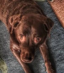 Jackson..... (LVNWtransFoto) Tags: chocolate canine pet jackson labrador dog