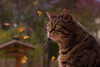 Oh my gosh, awful windy weather today ! (FocusPocus Photography) Tags: cleo katze cat chat gato tier animal haustier pet herbst autumn fall garten garden windig windy herbstwetter autumnweather blätter leaves