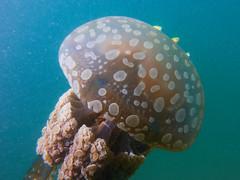 Shy Fish Behind Jelly (Gomen S) Tags: animal wildlife nature macro underwater ocean sea marine hongkong hk china asia tropical 2017 autumn afternoon nauticam rx100v flash sony sonyflickraward fish
