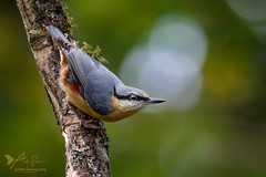 Nuthatch (ABPhotosUK) Tags: animals autumn autumnwatch birds bokeh canon dartmoor devon ef100400mmisii eos7dmarkii garden nuthatch nuthatches seasons sittaeuropaea sittidae wildlife