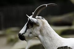 Hausziege (Michael Döring) Tags: gelsenkirchen bismarck zoomerlebniswelt zoo hausziege afs200500mm56e d850 michaeldöring