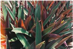 (grousespouse) Tags: vietnam botanics 35mm analog film nikonf3 nikonseriese 28mm wideangle analogue kodakultramax400 croplab grousespouse