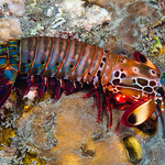 Peacock Mantis Shrimp, male - Odontodactylus scyllarus thumbnail