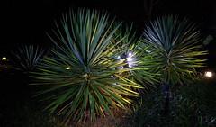 _MG_2011.CR2 (jalexartis) Tags: yucca yuccaplant shrub shrubbery nightphotography night nightshots dark lighting camranger lumecube