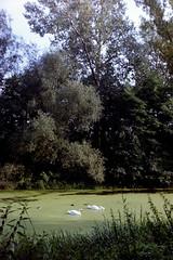 Green River (Matylda Burszta) Tags: analog analogue swans river summer wroclaw poland park nature